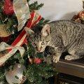 猫と過ごすクリスマスで気を付けたいこと5つ