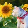 心が洗われる…!黄金色に輝くひまわり畑と猫ちゃん♡