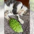 『ゴーヤ』は究極の癒しアイテム♡添い寝する猫さんのお姿が話題