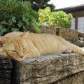 猫が新型コロナウイルスに感染した場合の症状とは