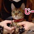 爪切りは苦手?平気?ベンガル猫一家の反応!