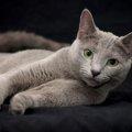 ロシアンブルーの鳴き声、聞いたことある?ボイスレス猫のヒミツ