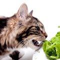 猫は小松菜を食べてもいい?与える時の効果と注意点