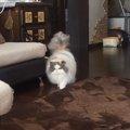 飼い主さんが大好き☆わんこのように追いかける猫ちゃん