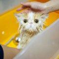 猫を洗う頻度はどれぐらい?その手順と嫌がる猫をシャンプーするコツ