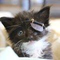海賊のようなパッチ(眼帯)をつけた子猫、その理由は…