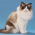 ラグドールの毛色は何がある?豊富なバリエーションがある猫の人気カ…