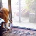 網戸を開ける時は、一回転してガリガリ!変わった開け方をする猫。