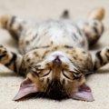 猫が寝る場所を選ぶ理由とその快適な温度