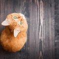 猫はアトピーになる?症状と治療法とは