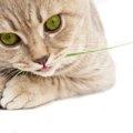 猫に水菜を食べさせても大丈夫?与えた時の効果や注意点、猫草の効果
