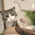 興味があるのは金魚じゃない?金魚鉢を見つめる猫。