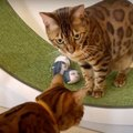 「これは何?!」追いかけてくるぬいぐるみにびっくりな猫さんたち