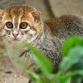 カワウソ?リスザル?不思議な猫「マレーヤマネコ」が超絶可愛い♡