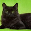 黒猫が横切ると縁起が悪い?いいえ、実は縁起がいいのです!