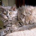 巻き毛の猫種5選!特徴やお手入れの方法まで