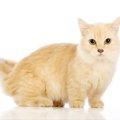 マンチカンの画像まとめ!instagramなどで活躍する猫ちゃんたち
