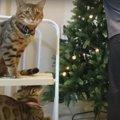 クリスマスツリーの準備に興味津々!ウロウロする可愛い猫さんたち♪