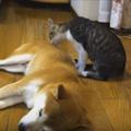 【猫から犬へ愛をこめて】小さな子猫の大きな一歩(movie)