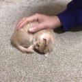 お膝大好き♪何度膝から降ろされてもめげない子猫にメロメロ!
