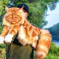 大きくて優しい猫『メインクーン』を画像で!巨大なぬいぐるみのよう…