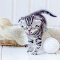 猫が喘息になったときの症状は?原因や治療法、予防法について