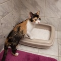 猫のうんちで健康チェック!!人間用トイレを使って貰う方法も♪
