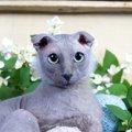 ウクラニアンレフコイ(ユークレイニアンレフコイ)はどんな猫?歴史…