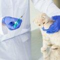 猫にワクチンを投与した時の副作用と注意点