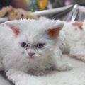 ターキッシュアンゴラとは?優美な姿の猫が持つ意外な魅力に迫る