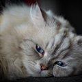 猫種ナポレオン(ミヌエット)の特徴と性格について