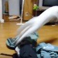まるでカンガルー!?筋肉隆々な猫の、前足を上げたままジャンプ!