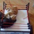 じゃれ合う子猫ちゃんをリングの上に乗せてみたら