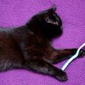 猫に歯磨きガムをあげる方法や選び方、おすすめ商品