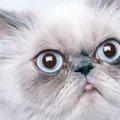 ペルシャ猫の寿命と長生きの秘訣!かかりやすい病気を把握しよう