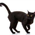 ボンベイ猫の特徴と性格、飼い方について