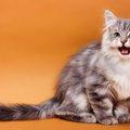 サイベリアンの持つ5つの性格や特徴、飼育時の注意点