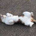 可愛い猫の開きのポーズの理由とは!