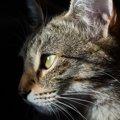 猫の目が充血する原因や考えられる病気、対処法について