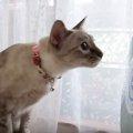 「止まれにゃー!」扇風機に合わせて頭を回す猫
