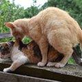 猫がマウンティングする4つの理由と交尾の違い