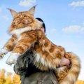 大きい猫種4選!魅力や飼う時の注意点まで