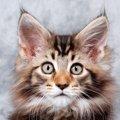 メインクーンの性格とは?世界最大級の猫はいったいどんな子?