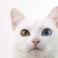 オッドアイの猫が生まれる理由とその特徴