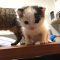 三毛猫の「あめちゃん」がやってきた!保護された子猫と家族になりま…
