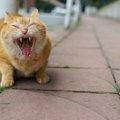猫のシャー!という鳴き声にはどんな意味がある?対処法は?