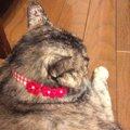 不器用さんでも簡単に手作りできる♪『猫用首輪』の作り方