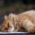 長毛の猫の種類や特徴について