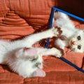 猫は自分の姿を認識している?鏡を見た時のリアクション4つ