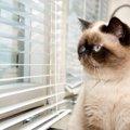 猫の被毛カラー「ポインテッド」!気になる性格は?